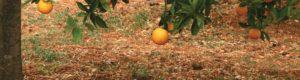 Boman & Associates | Crop Insurance | Orange hanging from branch