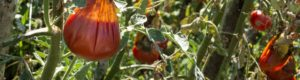 Boman & Associates | Crop Insurance | Damaged Tomato