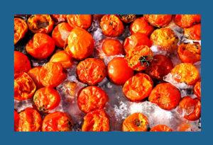 Crop Hail-Tomatoes damaged