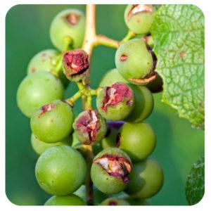 Damaged Grapes